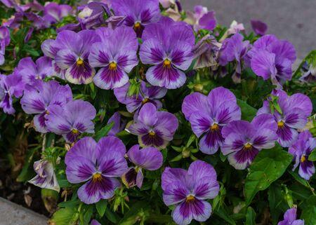 Gentle purple flowers of pansies in the summer garden