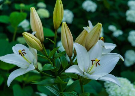 Blossoming white lilies with a garden in the village Imagens