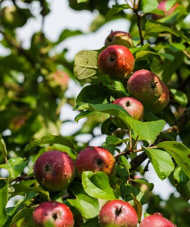 Branches of ripening apples in a village garden