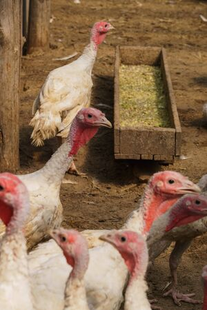 A flock of white domestic turkeys on an ecological farm, walks in a corral for birds Stock Photo