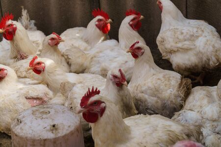 A flock of white domestic broiler chickens on an ecological farm walking in a bird pen