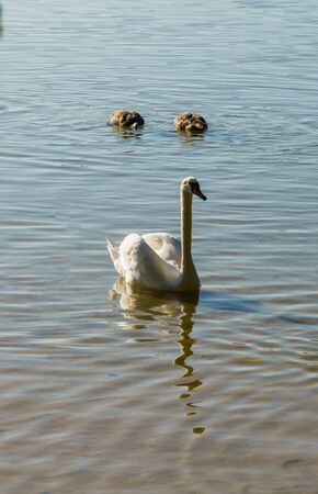 A beautiful white swan is gracefully floating on the lake