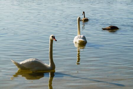 Beautiful white swans on the lake along with the chicks Stock Photo
