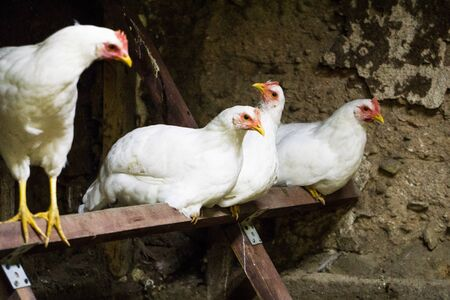 White chickens are preparing to sleep in a chicken coop Stock Photo