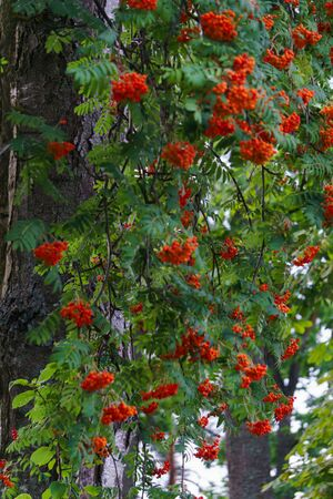 Bunches of red mountain ash swing on branches from strong winds. Autumn landscape