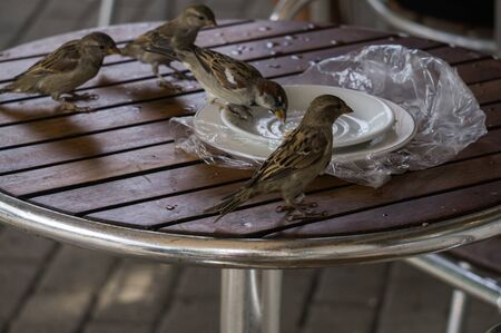 Sparrows sit on the table and eat. Dirty plate with leftovers after breakfast Stockfoto