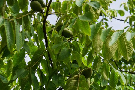 Fresh young walnut fruits on a tree in the garden