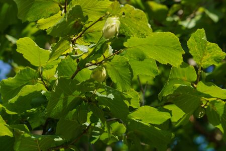 noci verdi su un albero in mezzo a foglie verdi Archivio Fotografico