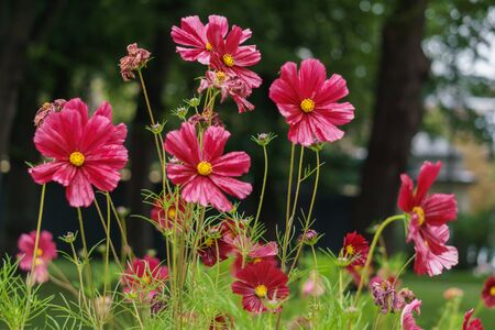 Beautiful burgundy cosmea flowers blossomed in the city garden