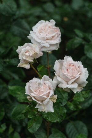 Beautiful delicate pink and white rosebuds in the garden