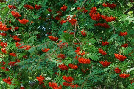 Bunches of red mountain ash on branches. Autumn landscape Archivio Fotografico