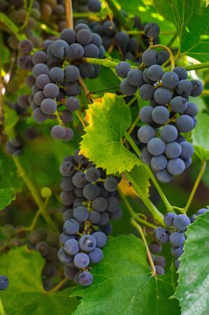 A bunch of dark blue grapes on a branch in the garden