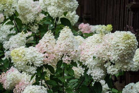 Beautiful pale pink with white hydrangea flowers in a city park Фото со стока