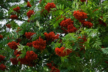 Bunches of red mountain ash on branches. Autumn landscape