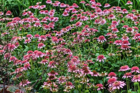 Beautiful pink echinacea flowers on a flowerbed in a city park
