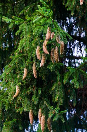Spruce tree with young cones growing on it 写真素材