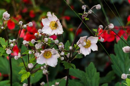 Lovely white-pink Japanese anemone flowers in a city park Фото со стока