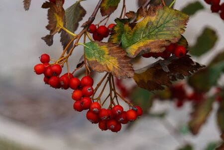 Branches of red mountain ash with clusters of red berries. Autumn landscape