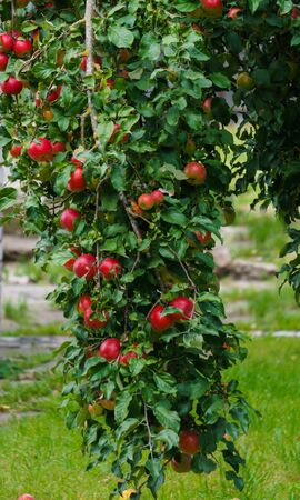 Branch with red apples in the garden
