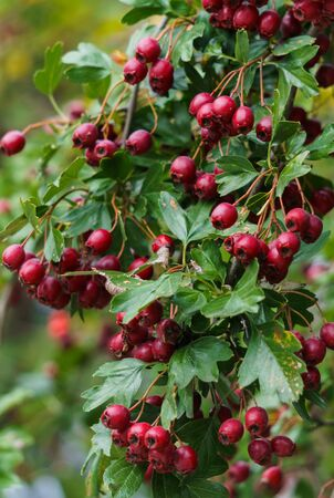 Green branches of hawthorn strewn with red berries