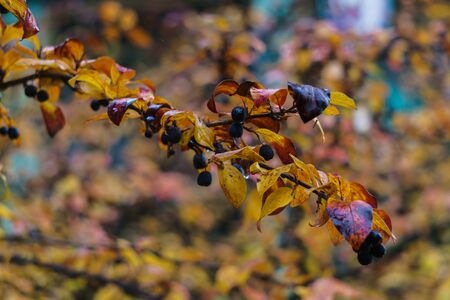 Yellowed leaves on the branches of an ornamental shrub Stockfoto