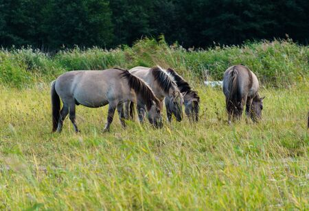 A herd of wild horses grazes in flood meadows by the river