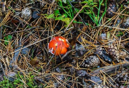 Amanita mushroom with a red hat grows in a clearing in the forest Stock fotó