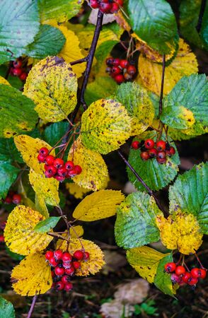 Autumn harvest.Red berries of hawthorn on branches in a city park Archivio Fotografico