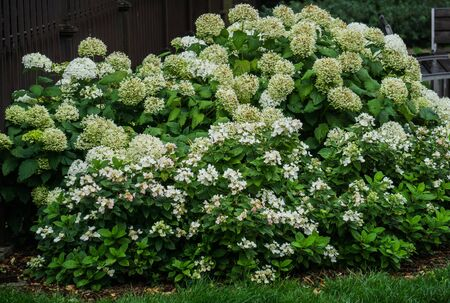 Bushes of a white cone-shaped hydrangea in a city garden Zdjęcie Seryjne - 132011617