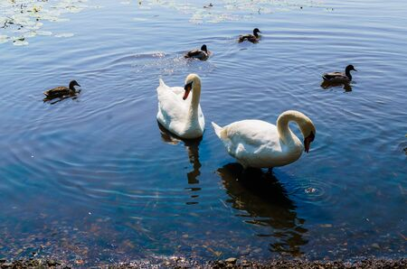 Two white swans with ducks swam to shore