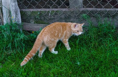 Red domestic cat walking through the grass in the garden