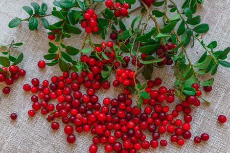 Berries of red cowberry along with twigs with green leaves