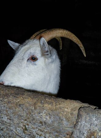 White goat behind the fence in the barn, in the village