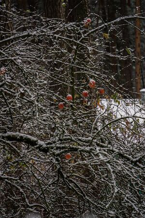 The first snow in the garden. Apples on the branches of an apple tree