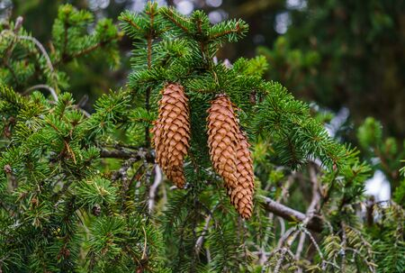 Young fir cones on the branches of spruce