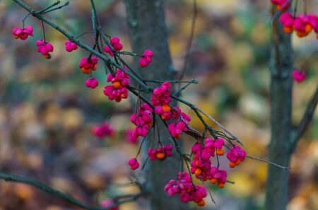 Ephedra orange berries in pink shells on branches in autumn