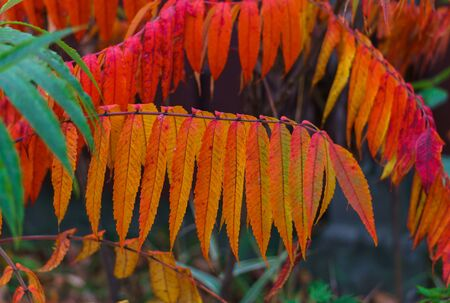 Colorful colorful leaves of vinegar tree in late autumn