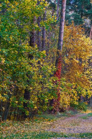A path through a forest strewn with yellow leaves in late autumn Stock Photo - 133414886