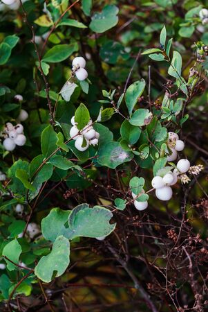 White, inedible berries on the branches of a bush in the forest