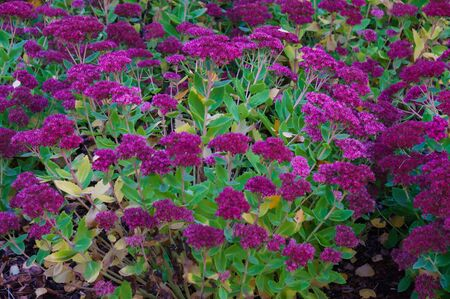 Decorative purple flowers on a flowerbed in a city park. Autumn landscape Stock Photo - 133414892