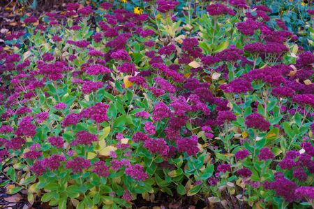 Decorative purple flowers on a flowerbed in a city park. Autumn landscape Zdjęcie Seryjne