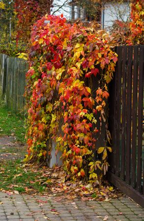 Reddened leaves of wild grapes hanging from a tree. Autumn landscape