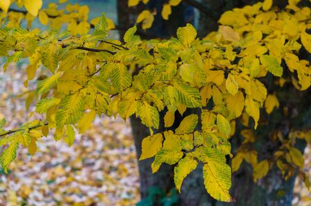 Yellowed ash leaves in a city park. Autumn landscape