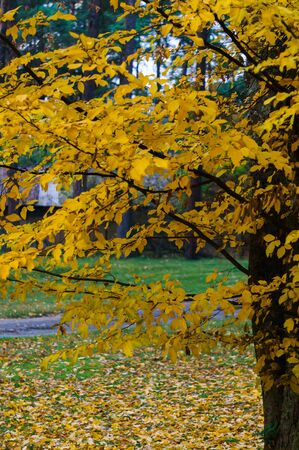 Yellowed ash leaves in a city park. Autumn landscape Stock Photo - 133423153