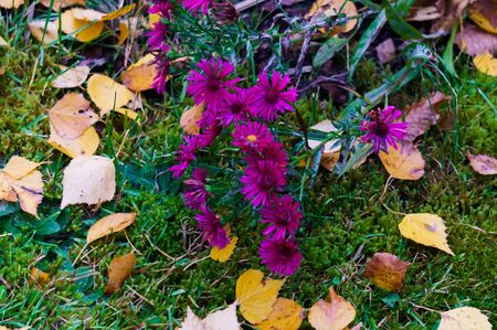 Decorative purple flowers on a flowerbed in a city park. Autumn landscape Stock Photo - 133423155