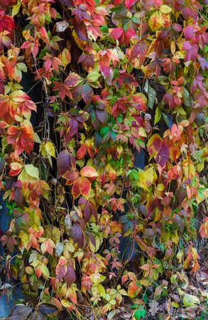 Reddened leaves of wild grapes hanging from a tree. Autumn landscape Stock Photo - 133423177