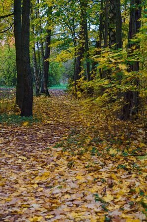 Autumn forest with yellow leaves, late fall. Colors of autumn