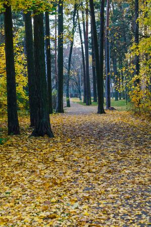 A path through a forest strewn with yellow leaves in late autumn Zdjęcie Seryjne