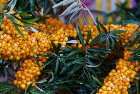 Sea buckthorn branches strewn with orange berries in the garden Zdjęcie Seryjne