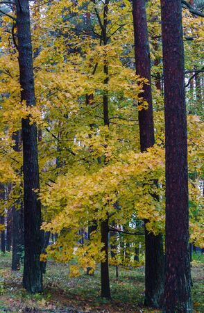 Yellow leaves on the trees in the forest. Autumn landscape